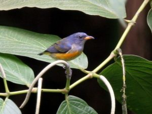 c7765Orange-belliedFlowerpecker040924-2-062