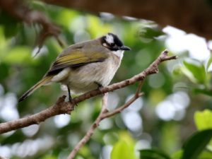c5640Light-ventedBulbul140113-033