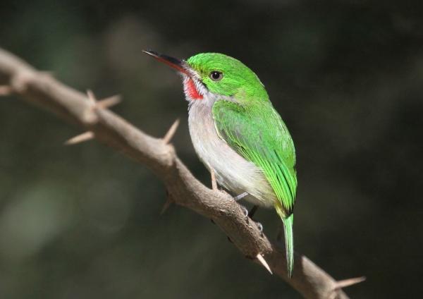 5 species of Todies
