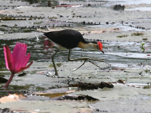 6 species of Jacanas