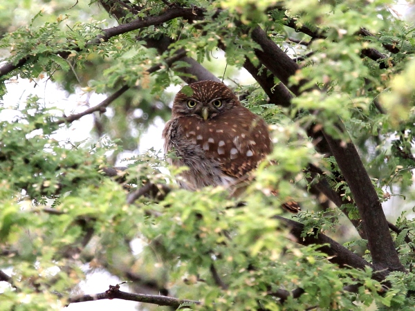 6 species of Owlets