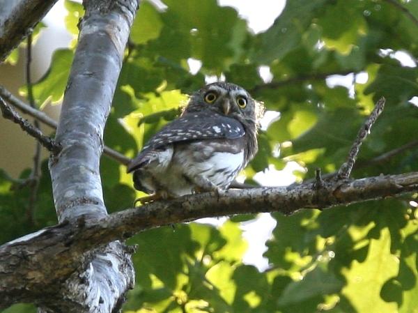 6 species of Owlets