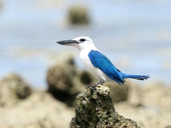10 Species of Kingfishers