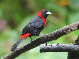 c9340Crimson-collaredTanager140717-359