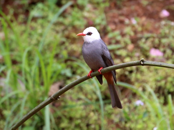 Birds of Northern Thailand