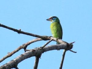 c3734IndochineseBarbet150614VN_011