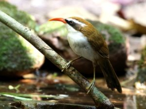 c7162Red-billedScimitarBabbler160222_045
