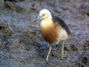 c0310 Javan Pond-Heron 010725_1