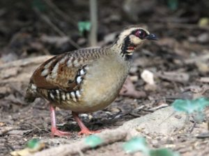 c1091Bar-backedPartridge110303-084