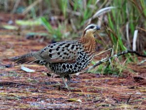 c1103MountainBamboo-Partridge130131-179