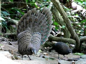 c1149GreyPeacock-Pheasant141217_234