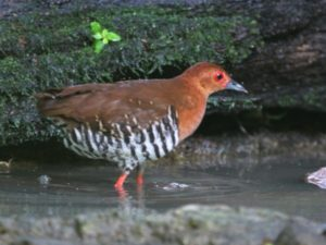 c1225Red-leggedCrake110603-101