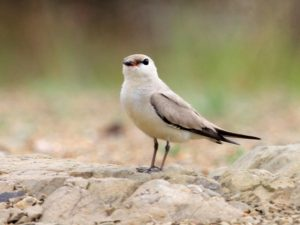 c1430SmallPratincole1106122315