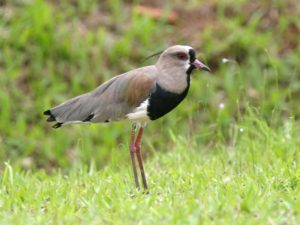 c1453SouthernLapwing031204