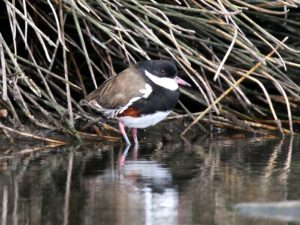 c1455Red-kneedDotterel121010-044