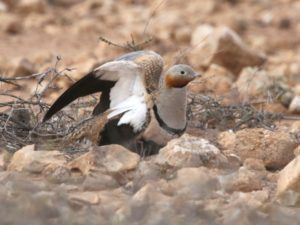 c1733Black-belliedSandgrouse140127-053