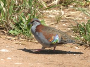 c1837BrushBronzewing031025