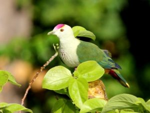 c1976PalauFruit-Dove120423-157