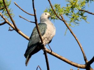 c2014GreenImperial-Pigeon080209-139