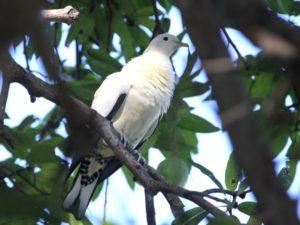 c2043TorresianImperial-Pigeon100910-066