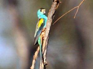 c2165Golden-shoulderedParrot100629-130