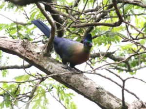 c2432Purple-crestedTuraco141130_190