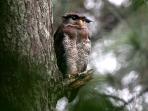 c2682BarredEagle-Owl040923-2-129