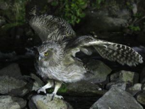 c2689Blakiston'sFish-Owl130605-520