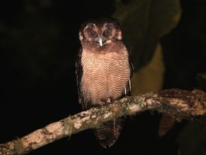 c2698BrownWood-Owl110928-083