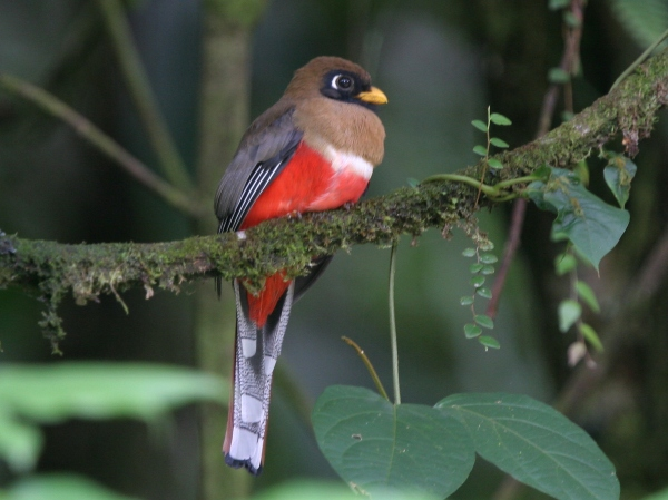 15 Spiecies of Birds of Trogon Family