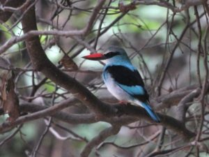 c3447Blue-breasteedKingfisher091213-172