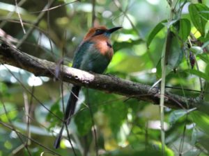 c3512Broad-billedMotmot140919-0529