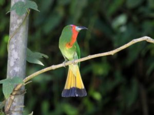 c3514Red-beardedBee-eater120408-070