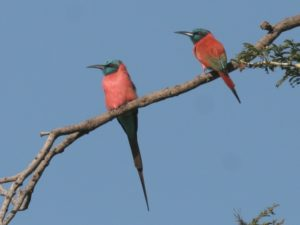 c3538NorthernCarmineBee-eater051019-1