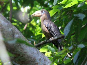 c3596Rusty-cheekedHornbill120409-638