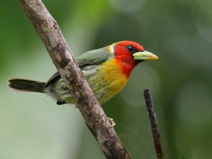 c3756Red-headedBarbet130628-036