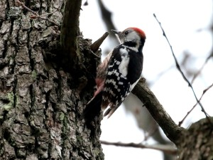 c3921MiddleSpottedWoodpecker150214_410