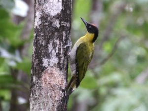 c4015Black-headedWoodpecker160620_057