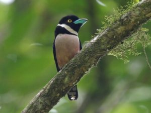 c4047Black-and-yellowBroadbill030723