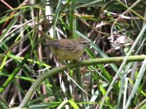c6223Yellow-belliedBushWarbler140829-9672