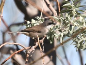 c6478LesserWhitethroat140420-439