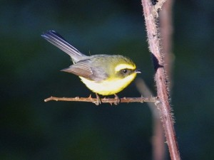 c6816Yellow-belliedFantail020222
