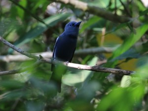 c6886BlueParadiseFlycatcher150408_010