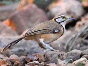 c7070GreaterNecklacedLaughingthrush100306-050