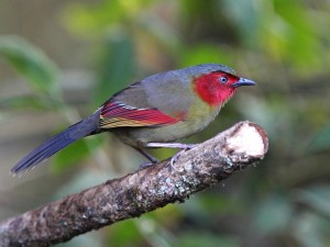 c7118Red-faced Liocichla110115018