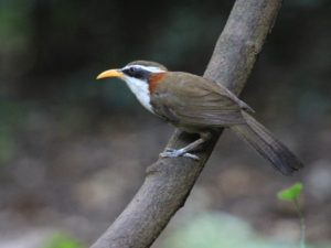 c7159White-browedScimitar-Babbler120605-355