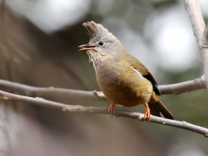 c7326Stripe-throatedYuhina120326-304