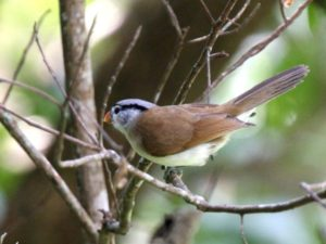 c7344Grey-headedParrotbill071207-077