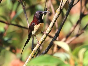 c7716Black-throatedSunbird150612VN_096