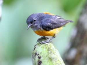 c7765Orange-belliedFlowerpecker100724-1743